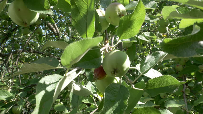 Closeup of an apple tree with growing apples in the summer in 4k