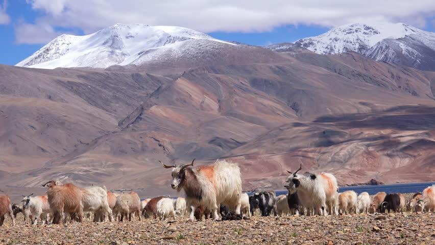 Group of sheeps and Kashmir Pashmina goats grazing, eating grass near Tso Moriri lake at Himalaya mountains. Astonishing pastoral scenery with herd of domestic animals at highland. Ladakh, India