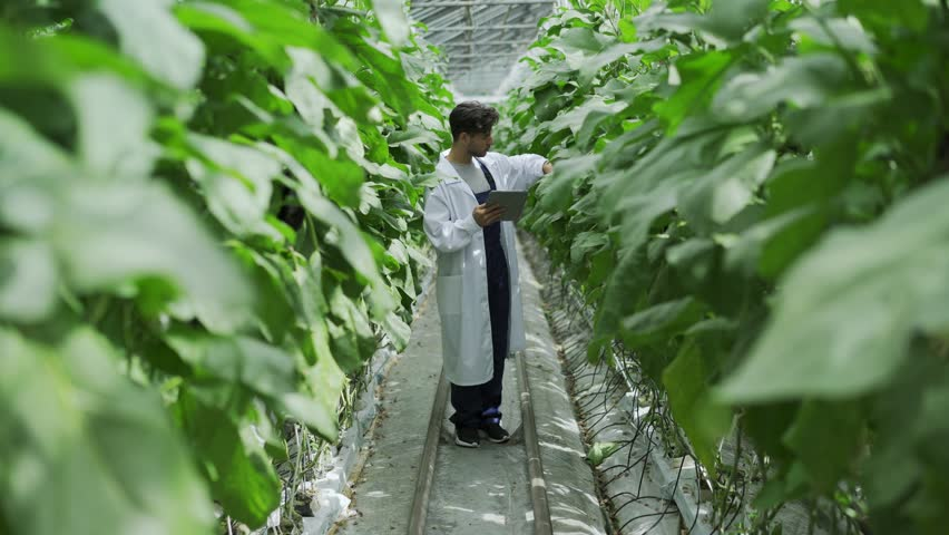 Agricultural scientist standing between rows of plants in farm greenhouse with digital tablet in his hand and examining vegetable leaves