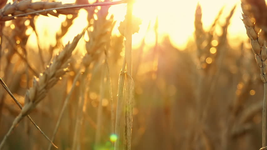Gold spikelets of wheat in the field during sunset close-up. Move the camera from bottom to top. #1016991562