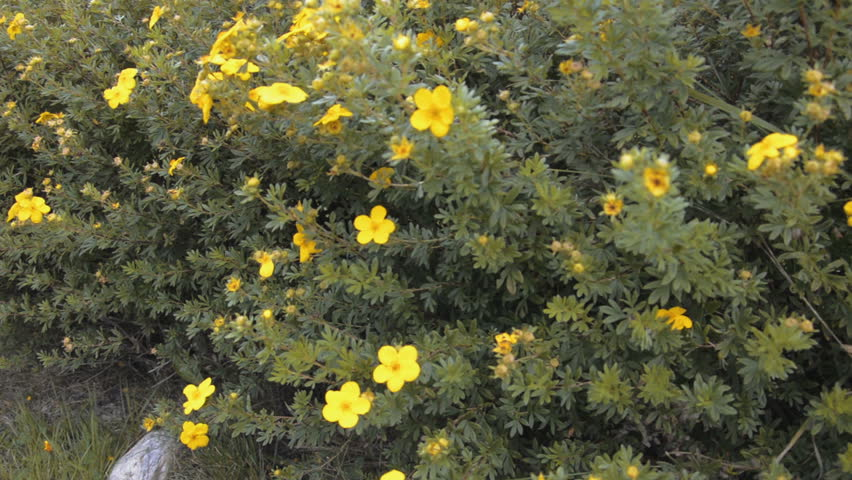 Yellow Flowers Bushes In A Stock Footage Video 100 Royalty