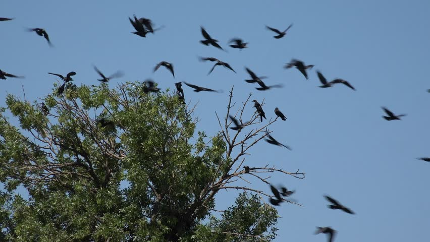 Flock of Crows Flying on Cloudy Sky, Ravens in Flight, Birds in Air, Summer