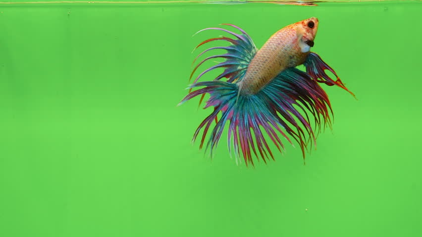 Super slow motion of vibrant Siamese fighting fish (Betta splendens), well known name is Plakat Thai, Betta is a species in the gourami family, which is a popular fish in the aquarium trade | Shutterstock HD Video #1017419743