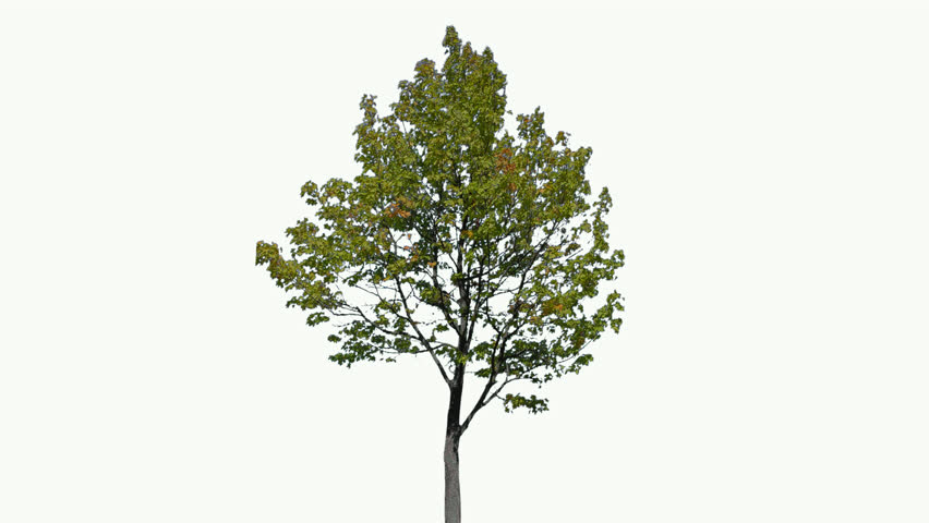 High quality 10bit footage of tree on the wind isolated on white background.  Best for compositing. Made from 14bit RAW    Shutterstock HD Video #1017466594