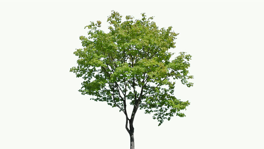 High quality 10bit footage of tree on the wind isolated on white background.  Best for compositing. Made from 14bit RAW