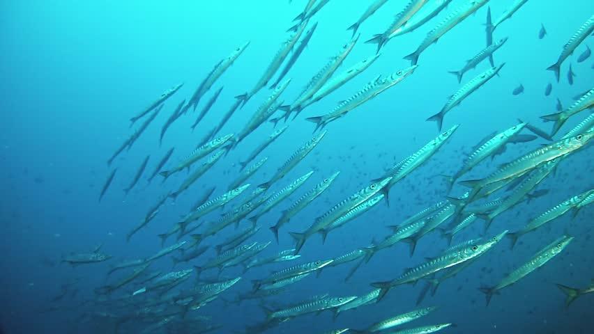 Scuba diving in Majorca Spain - School of striped barracuda