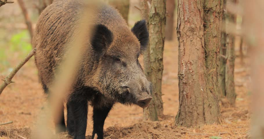 Belarus. Wild Boar Or Sus Scrofa, Also Known As The Wild Swine, Eurasian Wild Pig Sniffs Air In Autumn Forest. Wild Boar Is A Suid Native To Much Of Eurasia