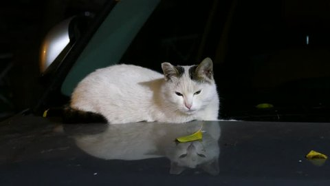 White Cat sitting on the cars hood at night.