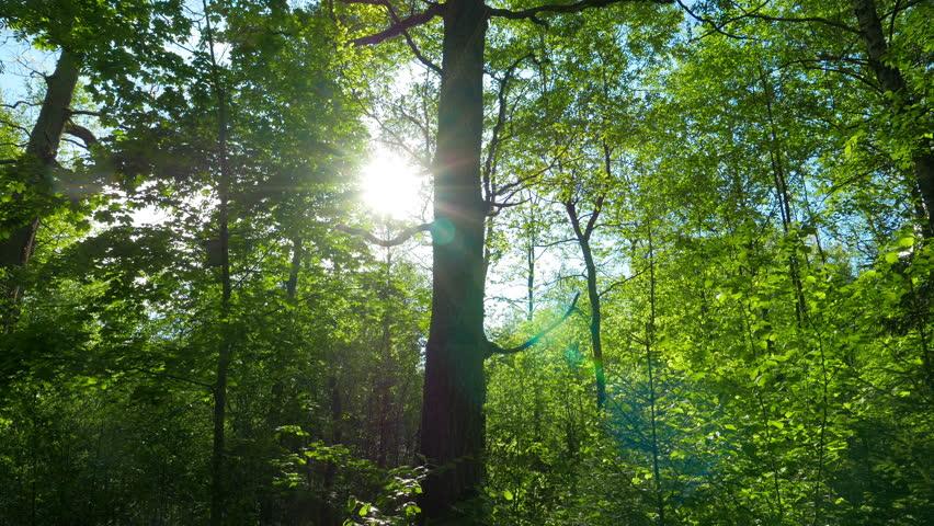Green oak forest, panorama | Shutterstock HD Video #10177037
