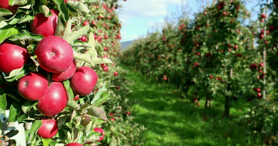 Apple on tree/Fruit/Nature