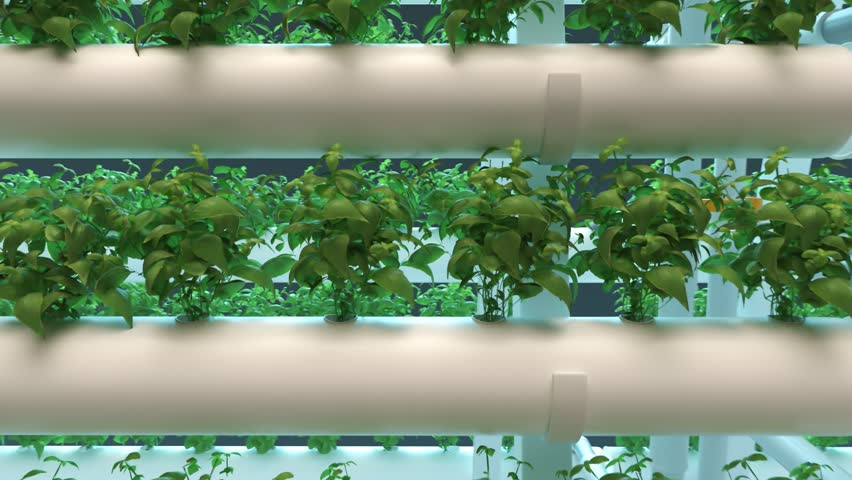 Hydroponics method of growing plants using mineral nutrient solutions in water, without soil. Rows of mature basil plants grown in hydroponics pipes with LED light indoor farm. Hydro agriculture.  Royalty-Free Stock Footage #1017896293