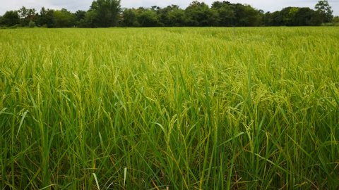 Organic Rice farm in Asia,Green nature background