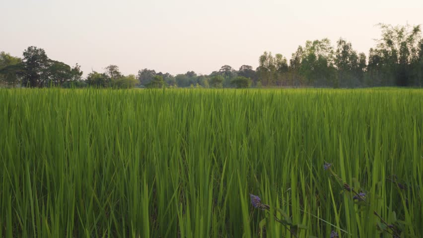 Beautiful field rice with with some movement | Shutterstock HD Video #1017932611