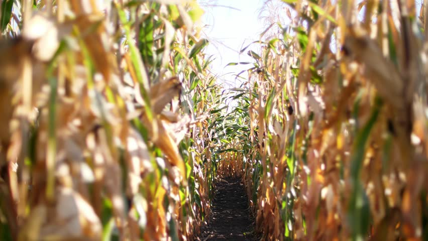 Close-up, corn field, rows of corn in the sunlight, sunshine. Corn crops on dried corn trees is prompt to harvest. | Shutterstock HD Video #1017935341