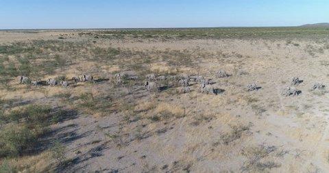 4k aerial panning side view of a breeding herd of elephants walking in the savannah bushveld of Northern Namibia