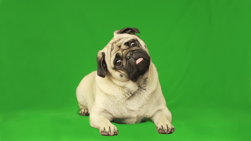 Cute pug dog. Green screen. Portrait. Lying. Tilting head