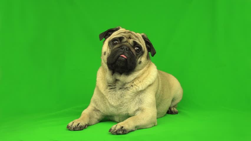 Cute pug dog. Green screen. Portrait. Lying. Tilting head | Shutterstock HD Video #1018030456