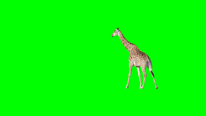African giraffe slowly walking across the frame on green screen, real shot, isolated with chroma key, perfect for digital composition, cinema, 3d mapping.