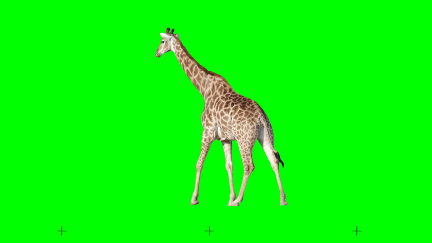 African giraffe slowly walking seamlessly looped on green screen, real shot, isolated with chroma key, perfect for digital composition, cinema, 3d mapping.