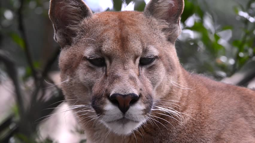 Close up of a Puma's face. The animal moves its ears, blinks and turns its head. Animal in captivity.