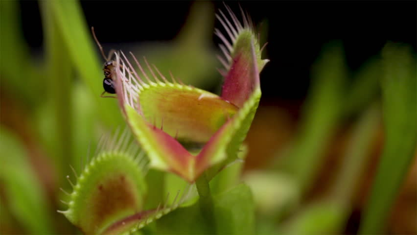Venus flytrap catching live food. Ant being caught by a carnivorous plant close up. Ant eating Venus fly trap. Catching prey. Ant eater.