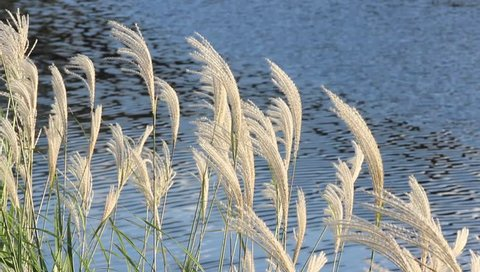 Japanese pampas grasses swaying by the sea