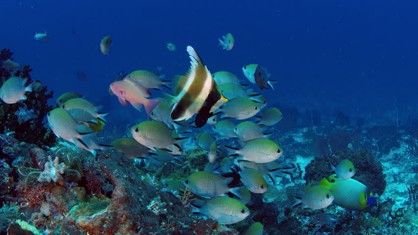 A band of pennantfish, Heniochus chrysostomus, positions itself in front of the camera, in the background Chromis Damsel, Chromis sp. Raja Ampat, Indonesia | Shutterstock HD Video #1018603519