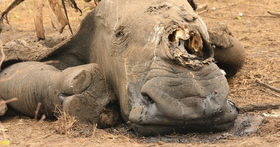 Rhino carcass in the Kruger National Park killed from poaching for its horn CU | Shutterstock HD Video #1018644451