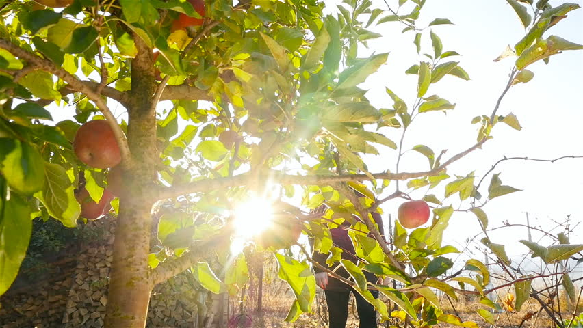 Beautiful girl coming to the tree and tearing an apple. Bright sun rays shine through the leaves. Slow-motion | Shutterstock HD Video #1018651621