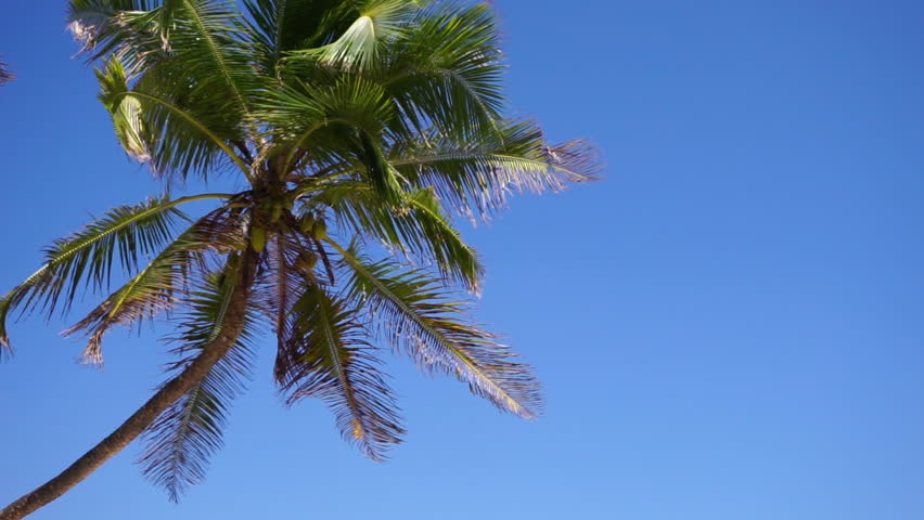 Tropical island palm tree (coconut tree) with green leaves and fruit blowing in the wind against a bright blue sky, sunny day. Close-up Slow motion 50p.   Shutterstock HD Video #1018694110