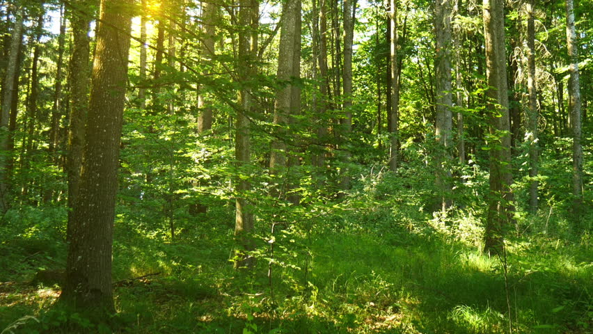 Sunshine breaking through the green leaves in deciduous forest  | Shutterstock HD Video #1018703266