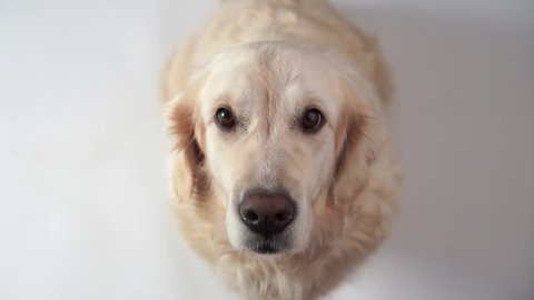 Golden Retriever Puppy Dog Panting