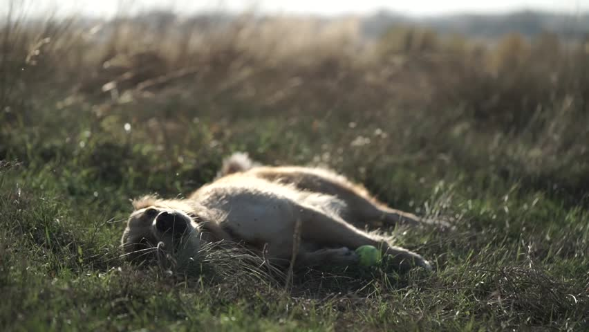 Cute Labrador lying in the field and resting