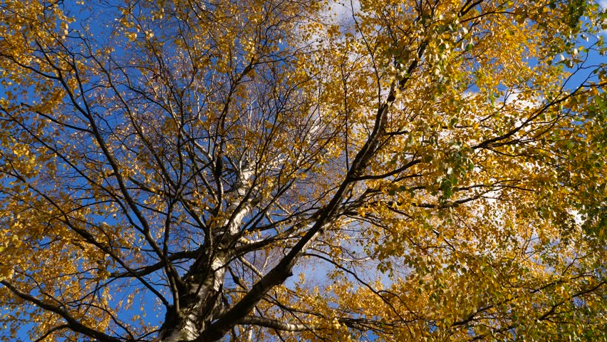 Low angle shot of large birch tree at sunny autumn day, sparse small leaves on branches, almost all turn to yellow colour. Pendulous branches sway on light breeze
