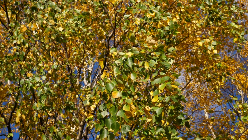 Small green and yellow leaves of white birch tree hand down on pendulous branches, low angle shot of trembling foliage.