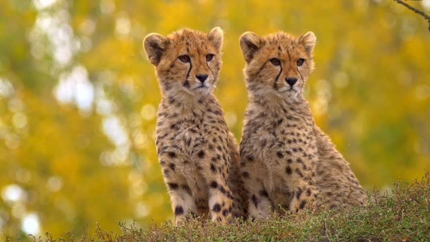 Juvenile cheetah siblings (Acinonyx jubatus) Royalty-Free Stock Footage #1019014975