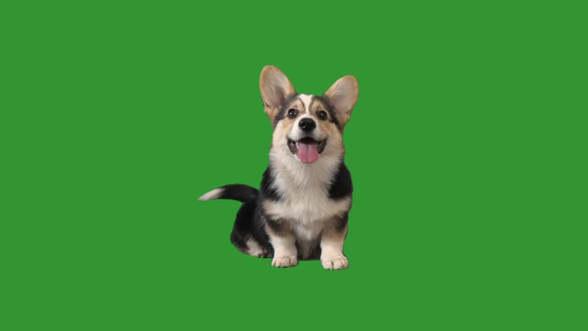 welsh corgi puppy barks on green screen