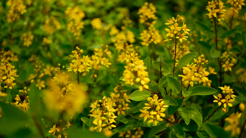 Spring Field Of Small Yellow Flowers Of Galphimia Evergreen Shrub Of