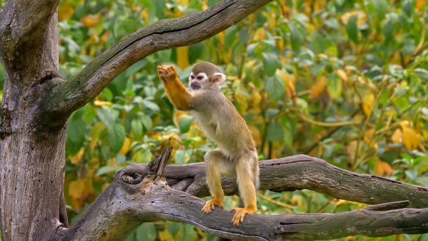 Common squirrel monkey (Saimiri sciureus) catching flies Royalty-Free Stock Footage #1019076199