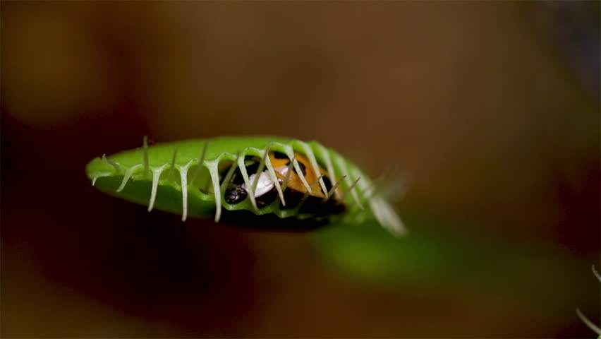 Venus fly trap captures live food. Close up of insect caught in a carnivorous plant. Ladybug captured in the leaves of a Venus Flytrap plant.