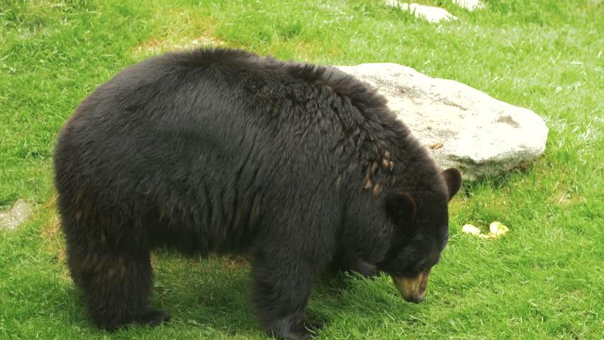 Black Bear sniffing around | Shutterstock HD Video #1019151682