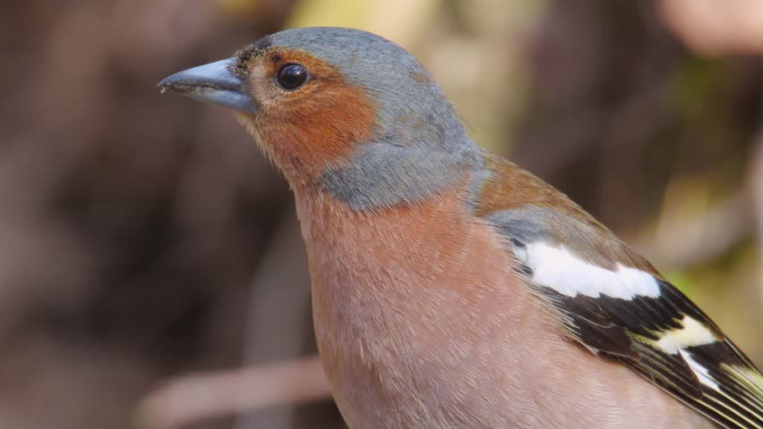 Common chaffinch. Close-up of the male in breeding plumage. Fringilla coelebs. | Shutterstock HD Video #1019178541