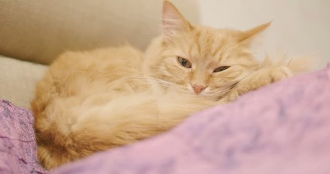 Cute ginger cat lying on violet blanket. Close up footage of sleeping fluffy pet. Cozy home.
