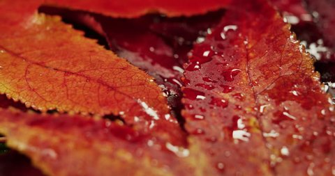 Macro slide shot of a mat of red leaves in a garden in an autumn day. Concept: Nature, autumn, plants