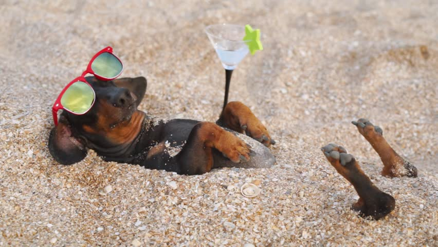 Cute dog of dachshund, black and tan, wearing red sunglasses,with a cocktail, having relax and enjoying buried in the sand at the beach ocean on summer vacation holidays | Shutterstock HD Video #1019442868