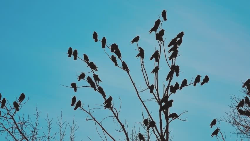 Flock autumn of birds crows blue sky taking off from a tree. a flock of crows black bird dry tree . birds ravens lifestyle in the sky. a flock of crows concept | Shutterstock HD Video #1019465278