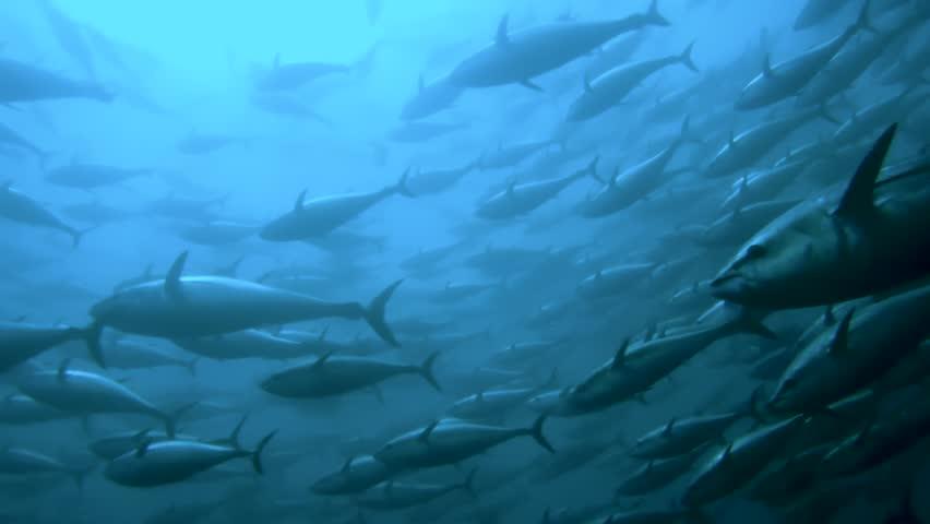 Swarm of bluefin tuna fish in a traditional tonnara (fish trap) near Sardinia