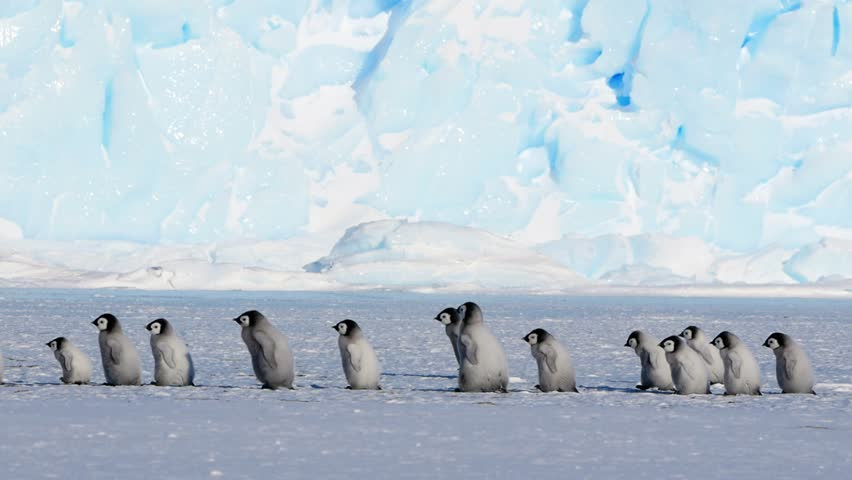 A line of Emperor Penguin chicks and adult chaperone walking across screen in front of an iceberg.