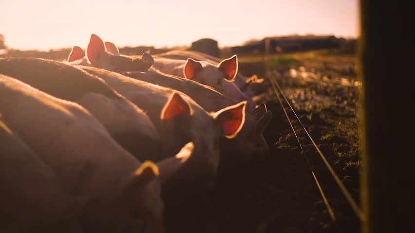 Pigs on a farm slow motion shot in evening sunshine