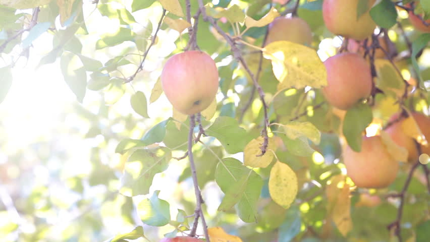 The sun shines through the apple tree. Pan dolly shot | Shutterstock HD Video #1019718670
